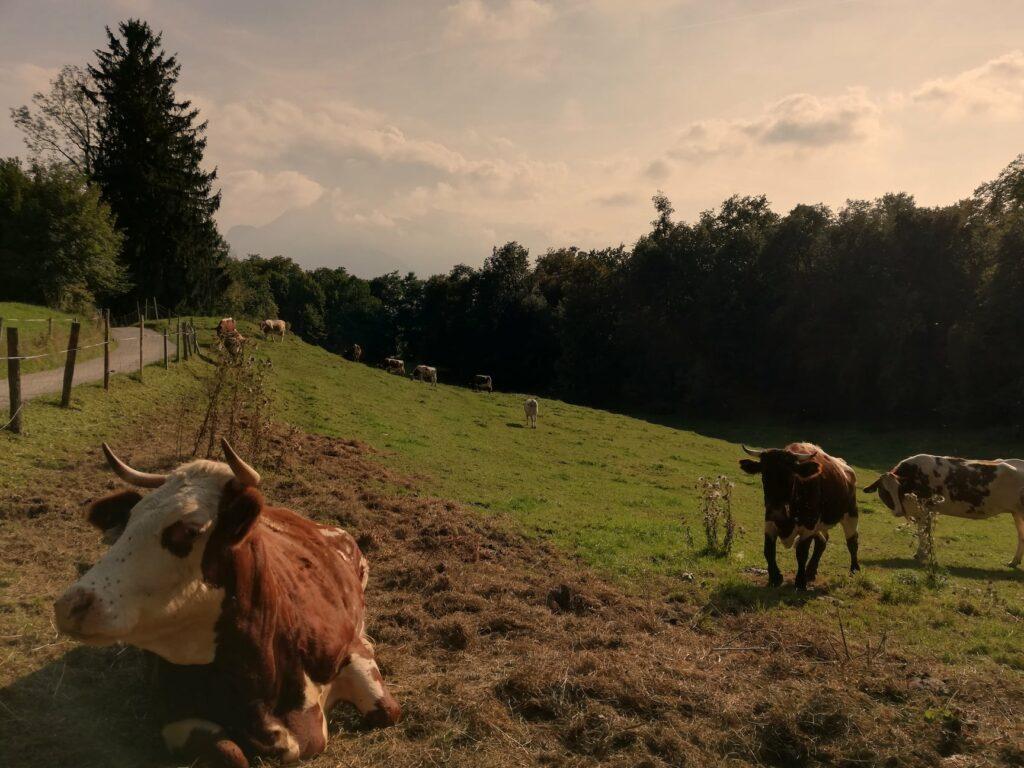 SalzburgNischen Kuh Stier Bild Foto vom Mönchsberg